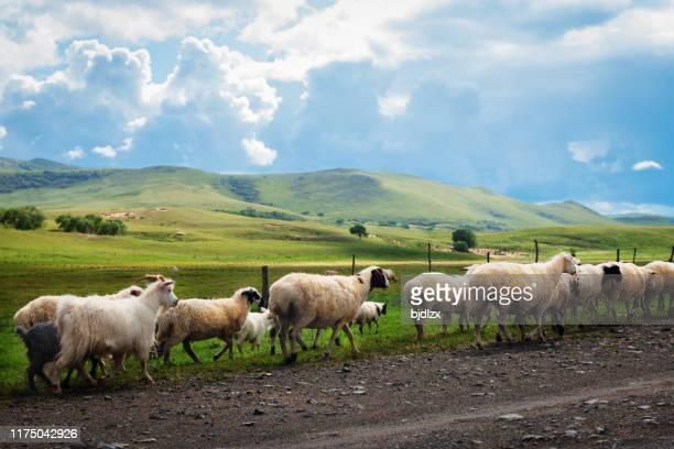 cruzando un rebaño de ovejas en el pastizal - eden pastora fotografías e imágenes de stock