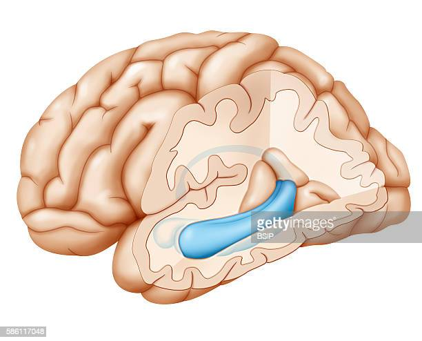 Crosssection illustration of the brain highlighting the hippocampus and in front of the hippocampus the amygdala