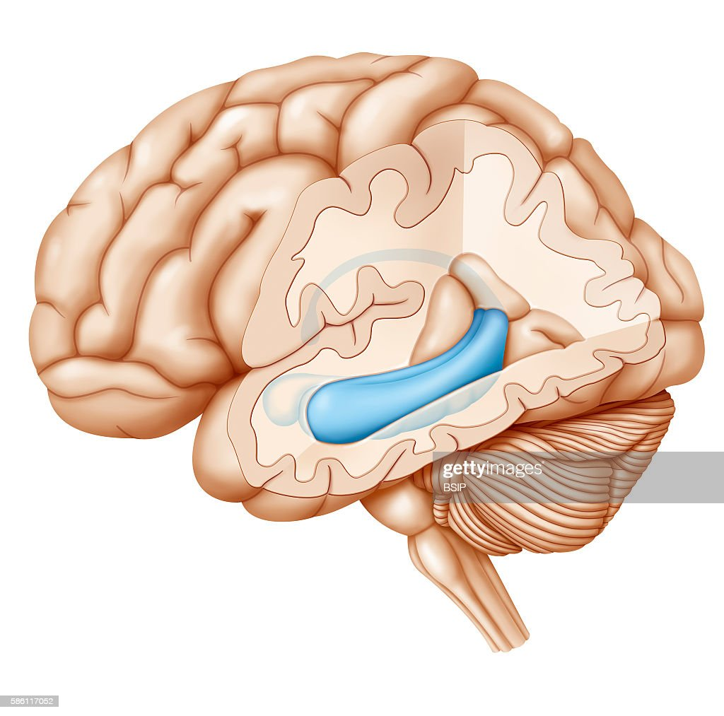 Cross-section illustration of the brain highlighting the hippocampus ...