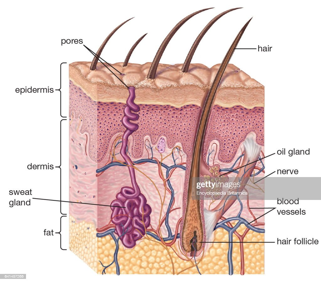 Cross Section Of Human Skin And Underlying Structures Integumentary