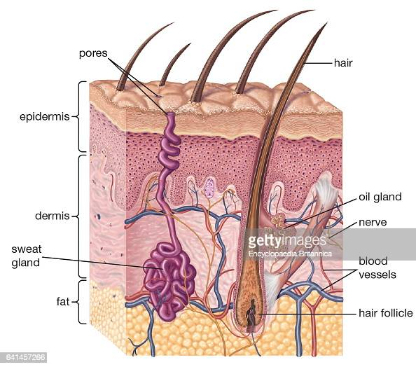 cross-section of human skin and underlying structures, integumentary ...