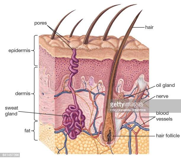 crosssection of human skin and underlying structures integumentary system epidermis dermis subcutaneous layer