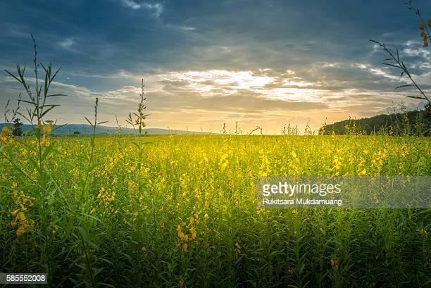 Crotalaria field