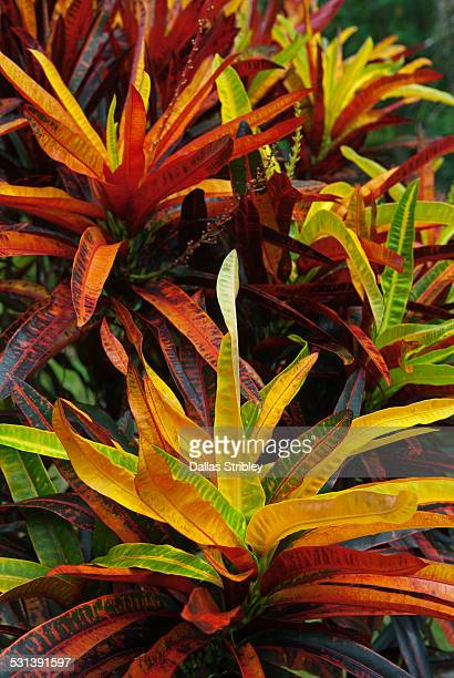 Croton - a colourful tropical plant, in Ubud, Bali