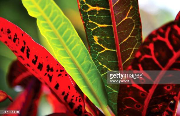 Croton plant leaves colourful background