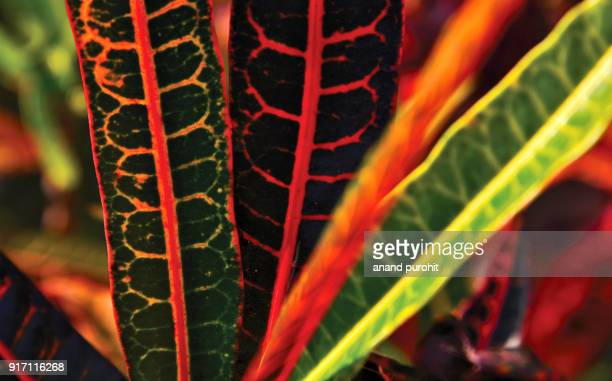 croton plant leaves colourful background - tropical bush stock photos and pictures
