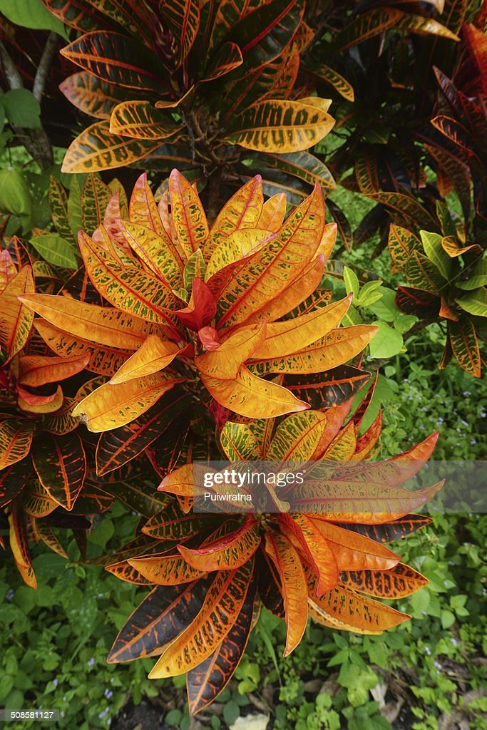 Croton plant : Stock Photo