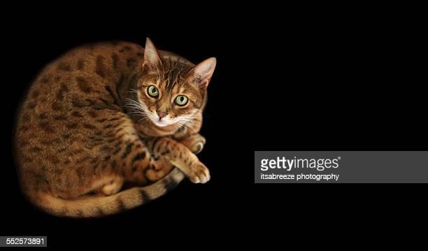 Crouching bengal cat