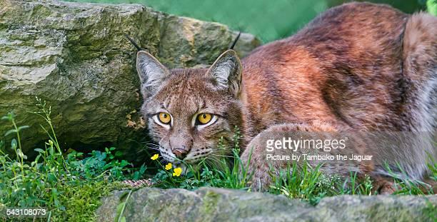 Crouching lynx