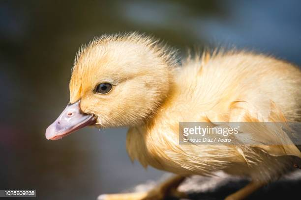 Crouching Yellow Duckling in Monte Dos Pozos, Galicia, Spain