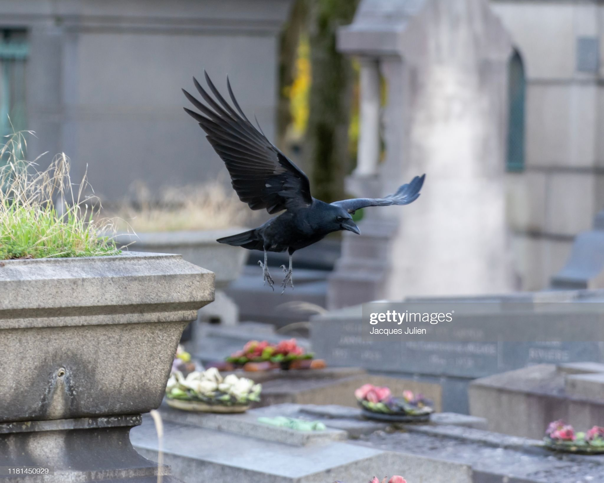 Crow - bird flying in a cemetery : Photo