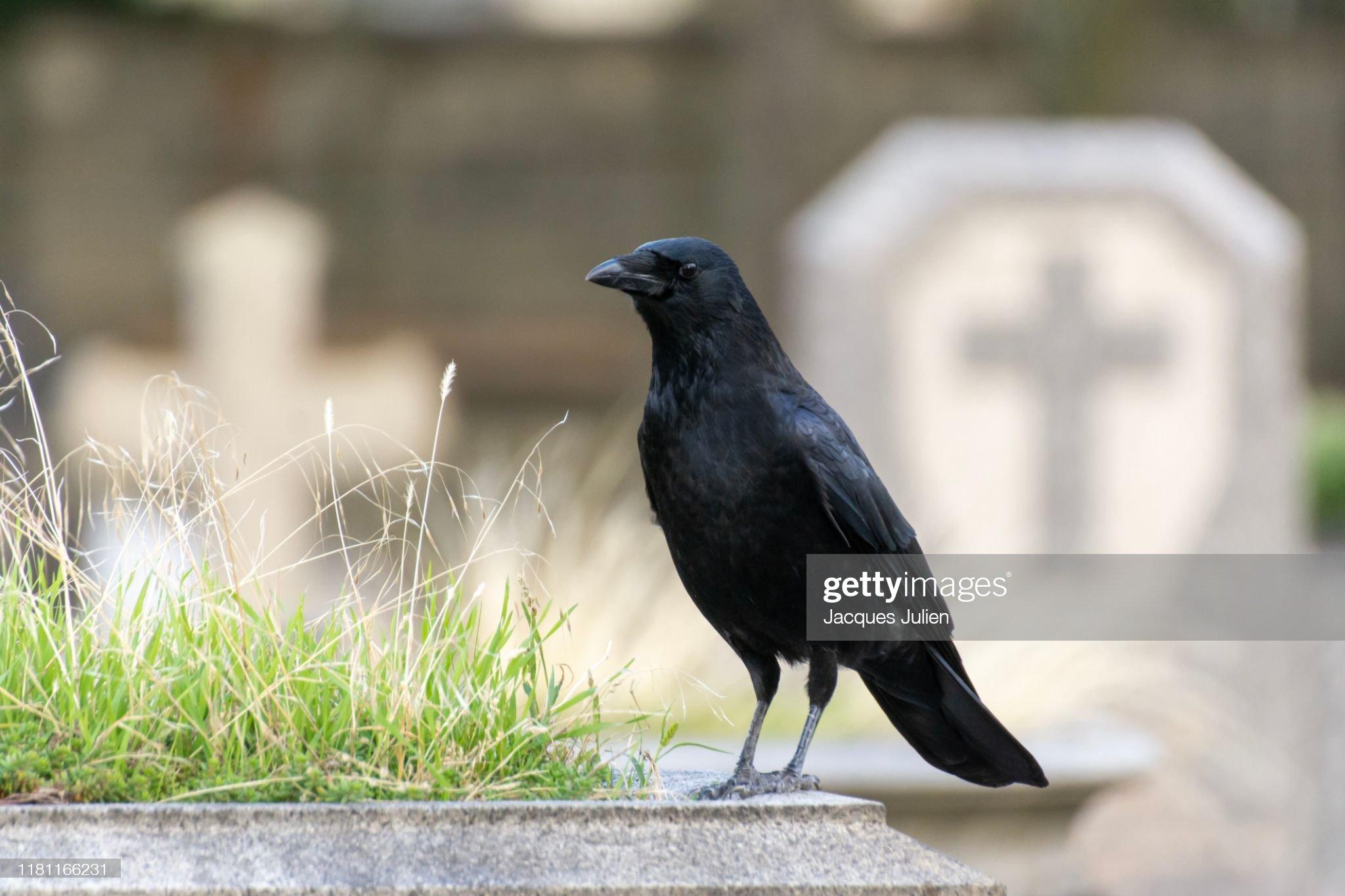 Crow - black bird - in a cemetery (Père-Lachaise, Paris) : Photo