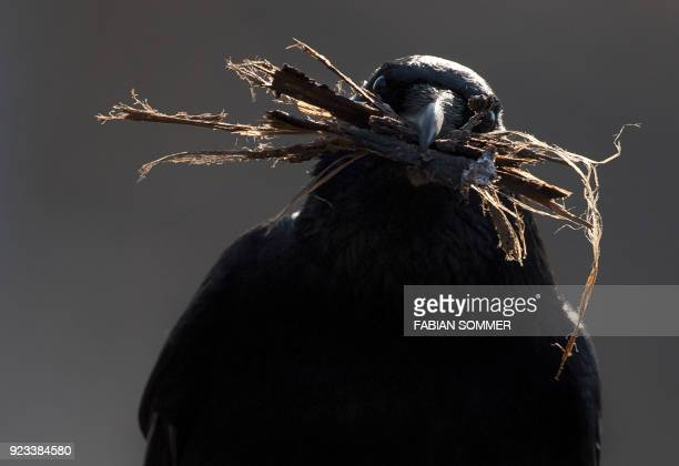 TOPSHOT A crow carries nesting material in Frankfurt am Main western Germany on February 23 2018 / AFP PHOTO / dpa / Fabian Sommer / Germany OUT