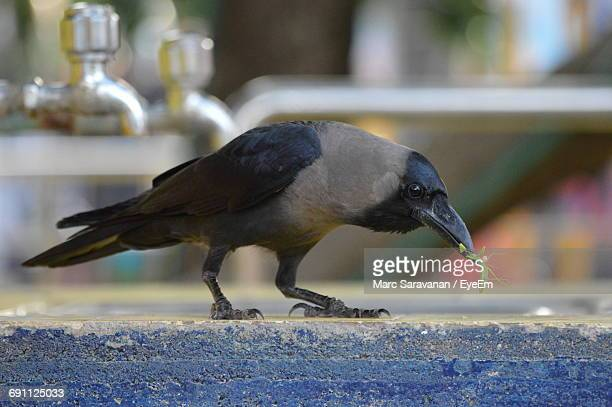 crow carrying insect in mouth - carnivora stock photos and pictures