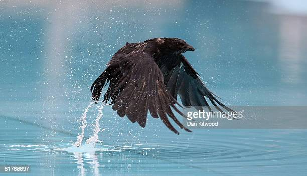 A crow cools down in a public paddling pool on Clapham Common on June 30 2008 in London England