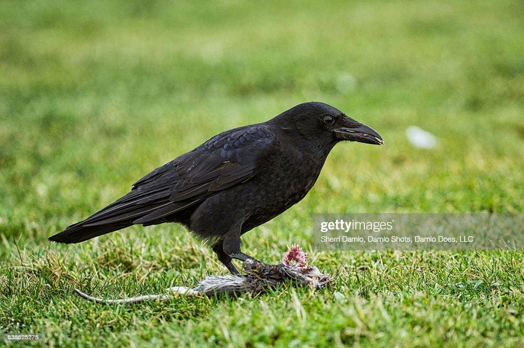 Crow eating a rat : Stock Photo