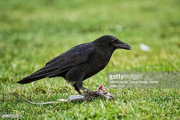 crow eating a rat - damlo does imagens e fotografias de stock