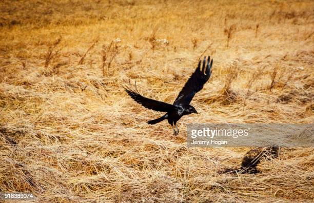 a crow flies above dead grass in yosemite national park - dead crow stock pictures, royalty-free photos & images