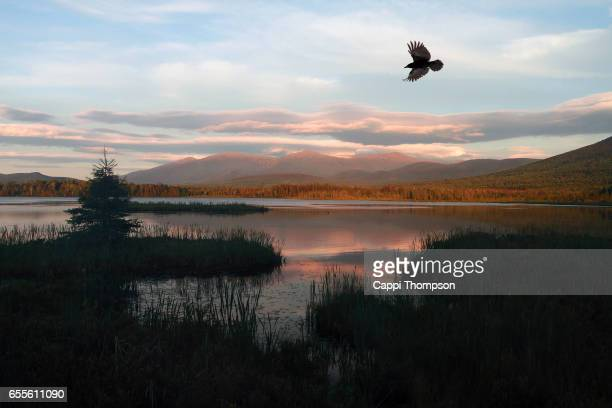crow flying at cherry pond in new hampshire, usa - merel stockfoto's en -beelden