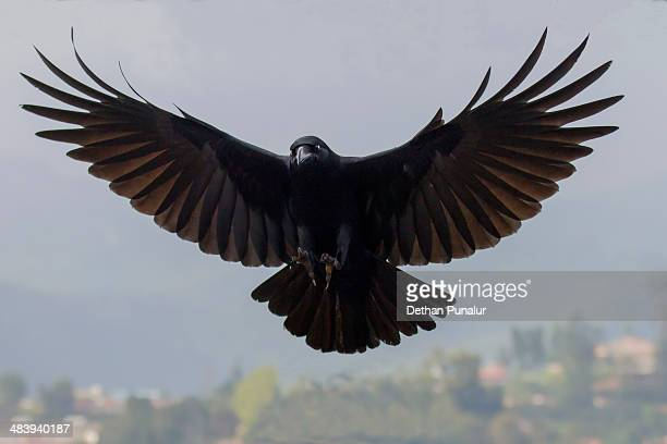 crow  flying - crow bird stock photos and pictures