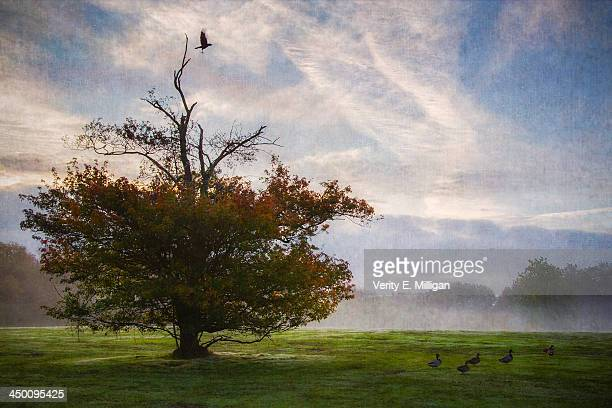 crow from autumn tree in the morning mist - northamptonshire stock pictures, royalty-free photos & images