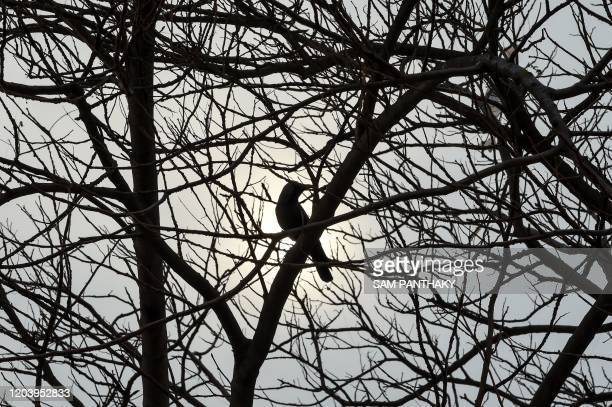 A crow hold on a leafless tree is pictured in front of the sun in a cloudy sun in Ahmedabad on February 28 2020