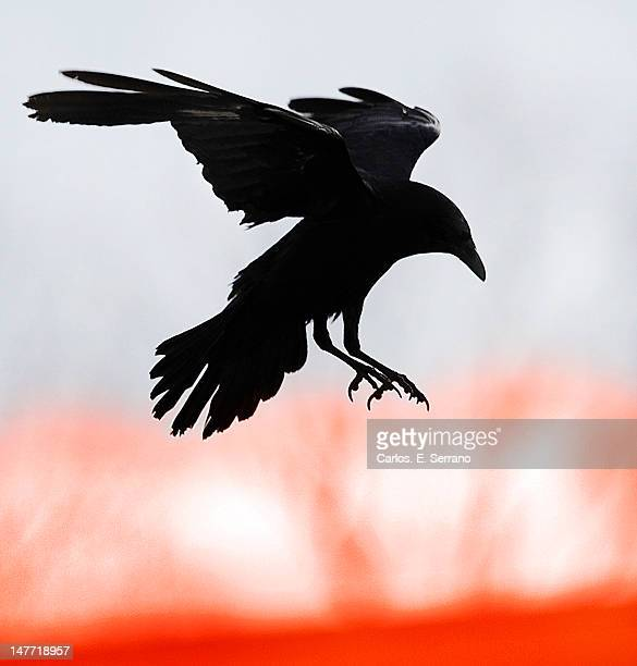 crow in flight - crow stock pictures, royalty-free photos & images