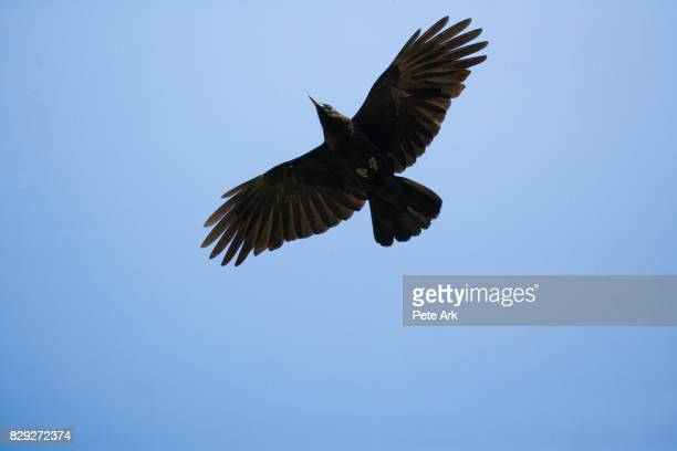 crow in flight - crow bird stock photos and pictures