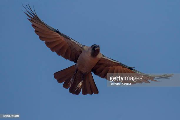 Crow in flying stage