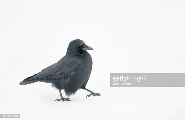 crow in snow - home run ストックフォトと画像
