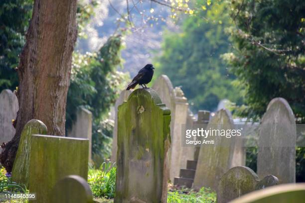 crow on a tombstone - sergio amiti stock pictures, royalty-free photos & images