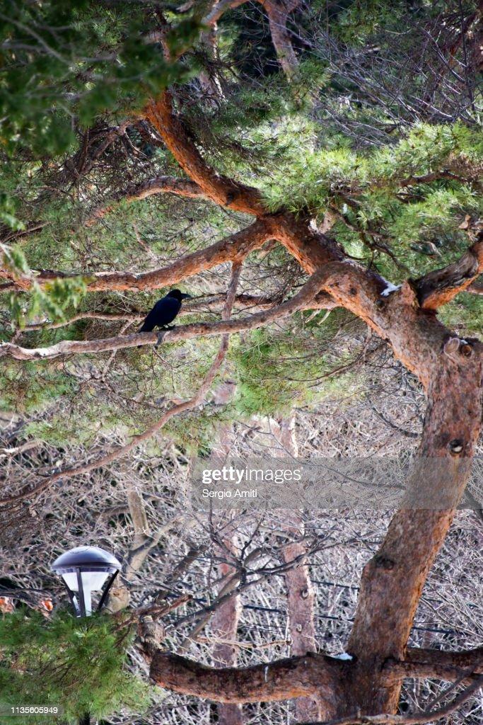 Crow on Ezoyama Zakura cherry tree : Stock Photo
