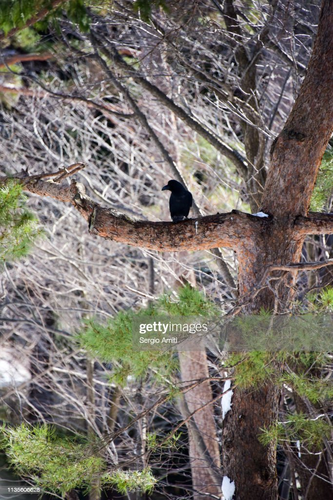 Crow on Ezoyama Zakura cherry tree : Stock Photo