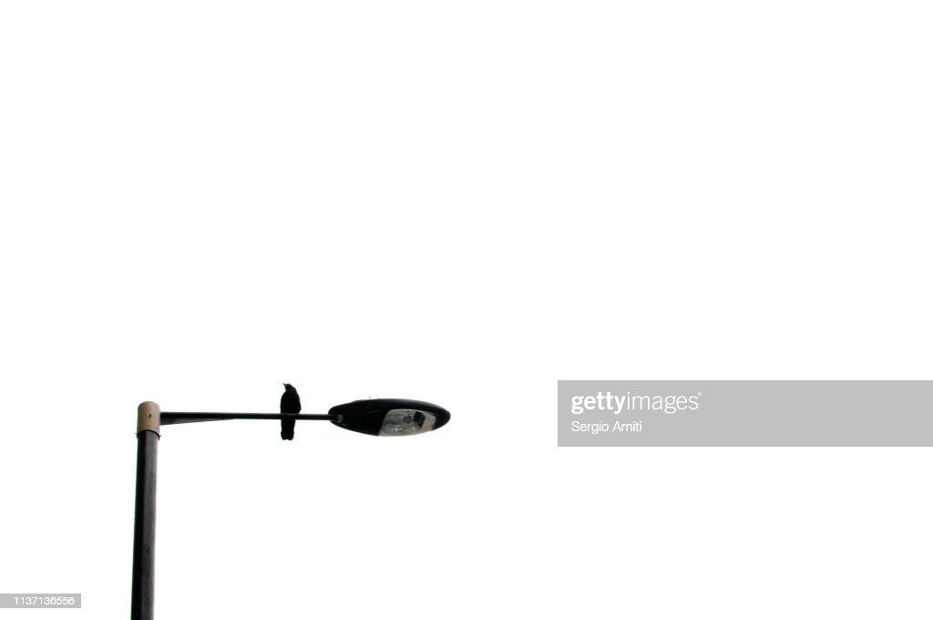 Crow on street lamp : Stock Photo