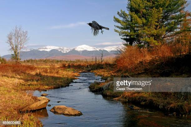 crow or blackbird flying near cherry pond - merel stockfoto's en -beelden