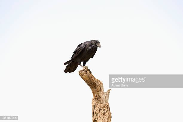 a crow perched on a dead tree - dead raven stock photos and pictures