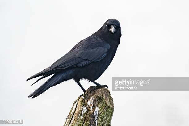 crow perched on a wooden post, british columbia, canada - crow stock pictures, royalty-free photos & images