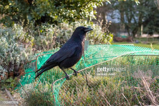 crow perching on a bird screen at le jardin des plantes, paris, france - jacques fesch stock-fotos und bilder