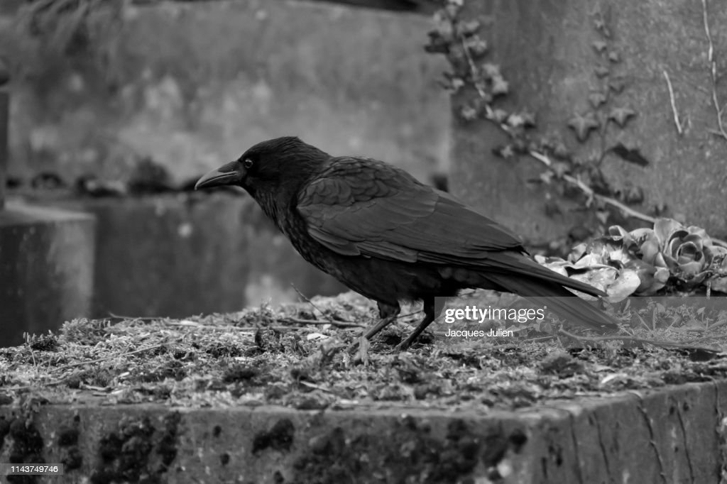 Crow perching on a grave in a cemetery : Photo