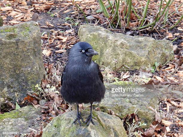 crow perching on stone - dry mouth stock photos and pictures