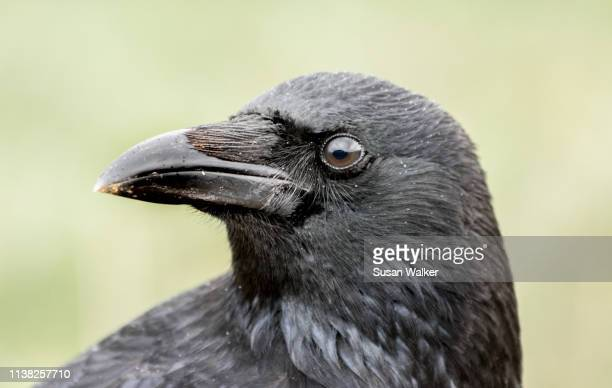 crow (corvus corone) - dead crow stock pictures, royalty-free photos & images