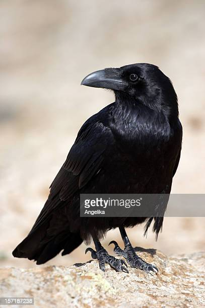 crow (1) - crow stock photos and pictures