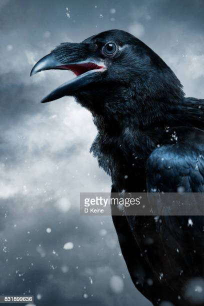 crow - ravens stock photos and pictures