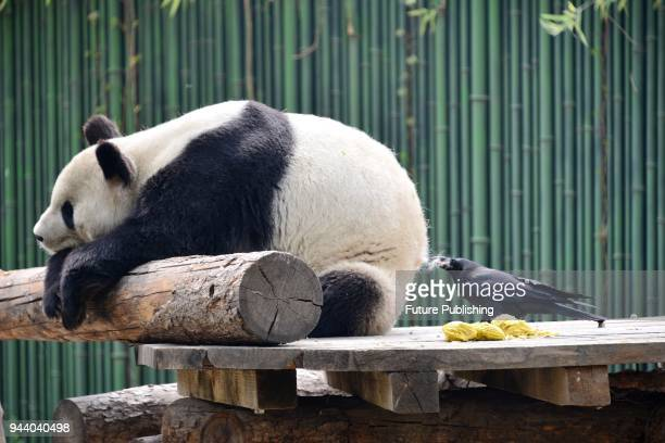 Crow plucks fur off panda's back for its nest in a zoo on April 09 2018 in Beijing China PHOTOGRAPH BY Feature China / Barcroft Images