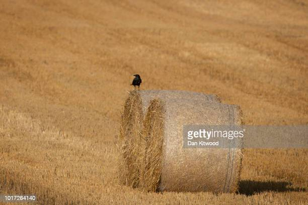 A crow sits on a hay bales in a field on August 15 2018 in Cudham England The National Farmers' Union has warned that Britain would 'run out of food'...