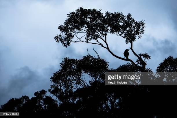 A crow sitting in a tree at about 1000m elevation at Cradle Mountain.
