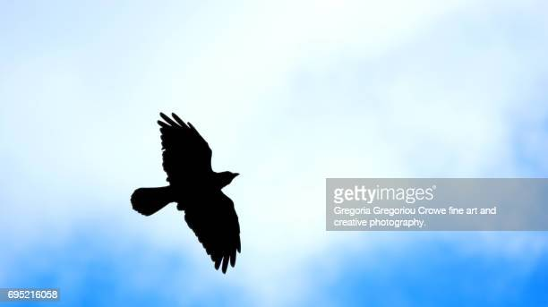 a crow soars through the sky - gregoria gregoriou crowe fine art and creative photography. stock pictures, royalty-free photos & images