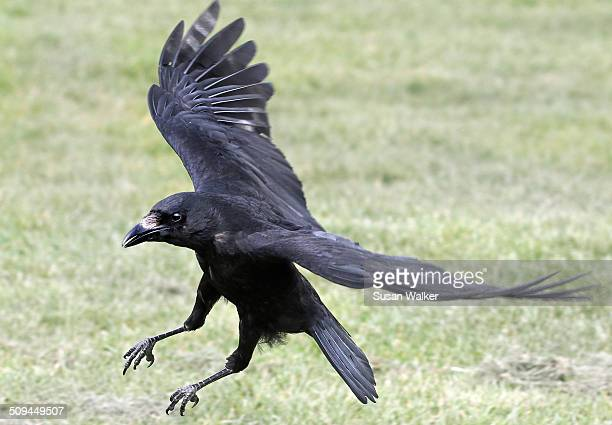 Crow/Corvus corone