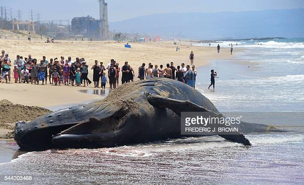 A crowd gathers to watch at Dockweiler State Beach in Playa Del Ray California on July 1 2016 as a dead humpback whale which washed on shore last...