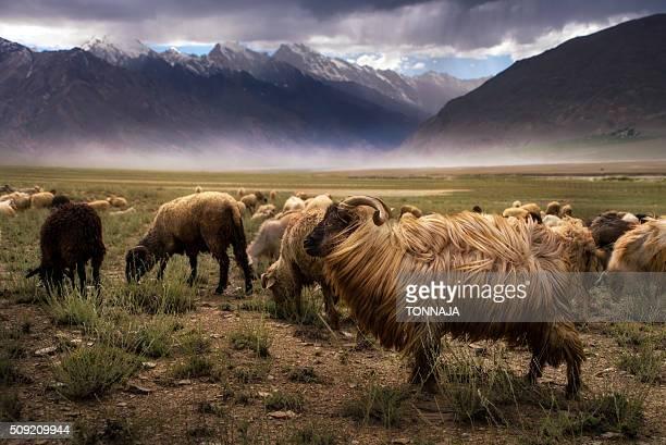 Crowd Of Sheep at Zanskar valley